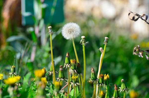 Pissenlits qui poussent dans la pelouse