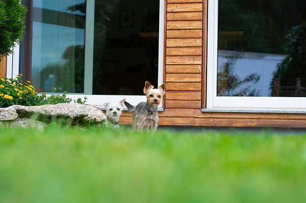 Deux chiens dans le jardin en gazon