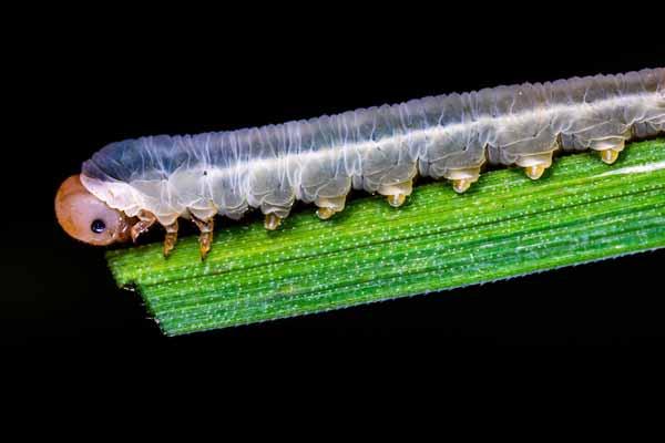 Insecte ravageur