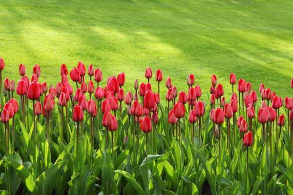 Pelouse et tulipes